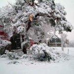 9. Schneebruch an der Kiefer